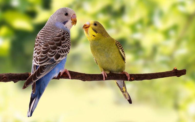 تشخیص سن و جنسیت مرغ عشق