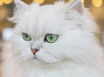 معرفی نژاد گربه چین چیلا، گربه زیبا و دوستداشتنی