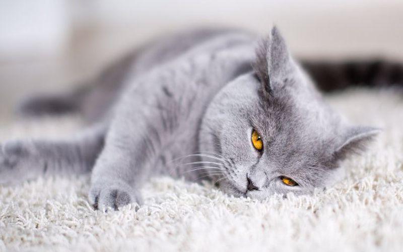گربه بی اشتها