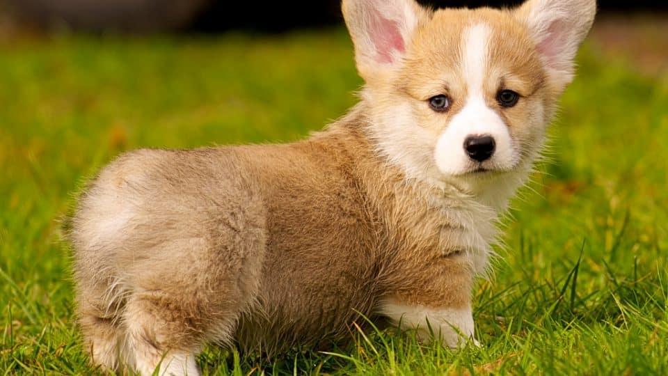 توله سگ کرگی