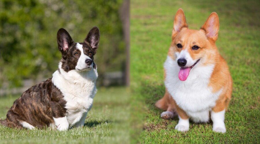 تفاوت سگ ولش کورگی پمبروک و کاردیگان