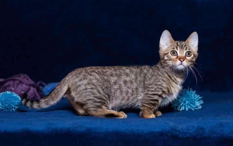 عکس گربه مانچکین