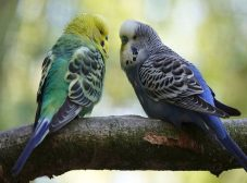 برای درمان سرماخوردگی مرغ عشق چیکار کنیم؟