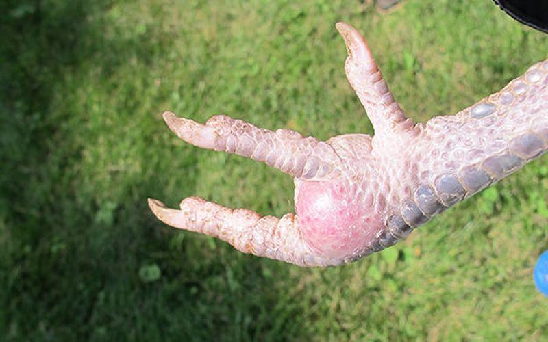 میخچه پای مرغ