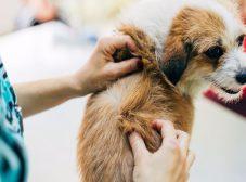 شپش سگ و هر چیزی که لازمه درمورد ابتلا به اون و درمانش بدونید