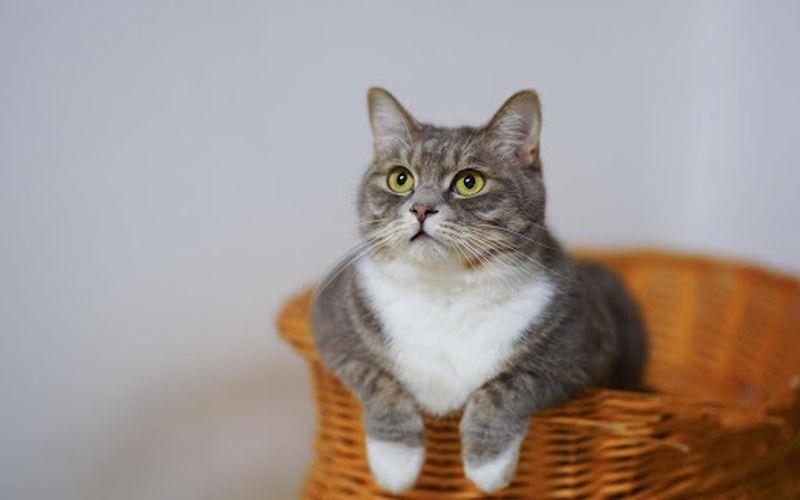 خصوصیات گربه مانچکین