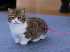 گربه نژاد مانچکین؛ گربههای کوتوله و پاکوتاه