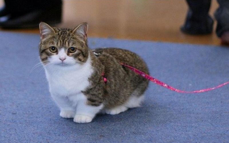 گربه نژاد مانچکین: گربههایی کوچولو و پاکوتاه