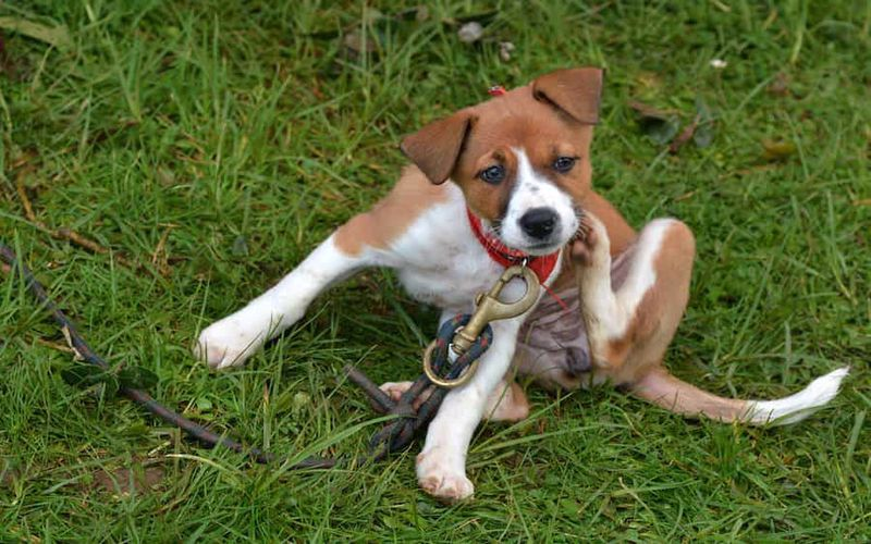 خارش سگ یکی از علائم شپش