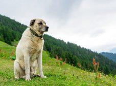 معرفی سگ کانگال ترکیه؛ نژاد غول پیکر و باابهت!