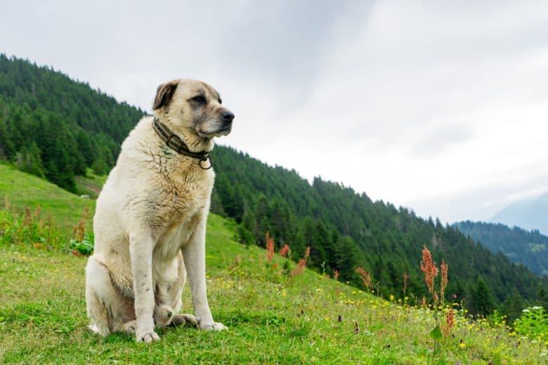 سگ کانگال ترکیه