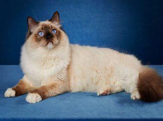 آشنایی با گربه رگدال یا گربه معروف به عروسک پارچهای