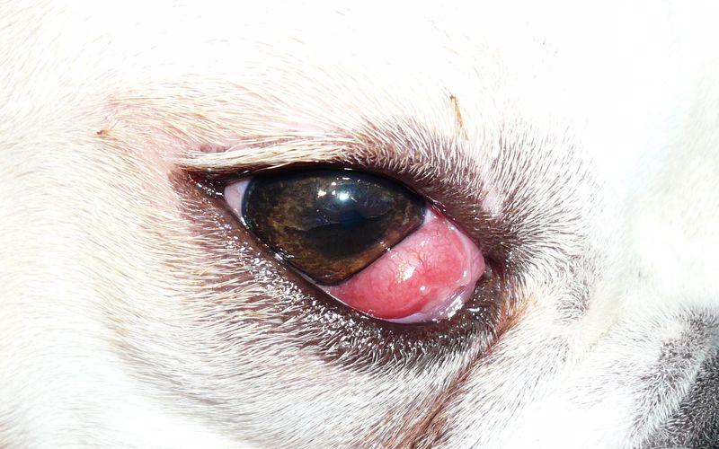 درمان بیماری غده اشکی در سگ