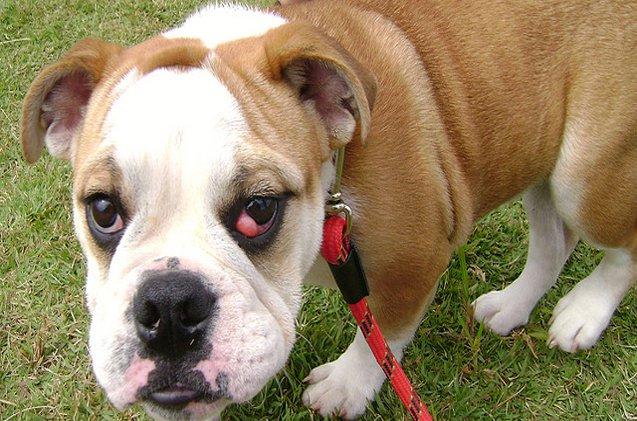 پیشگیری از چشم گیلاسی در سگ