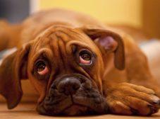 هرچیزی که لازمه دربارهی بیماری چشم گیلاسی در سگ بدونید!