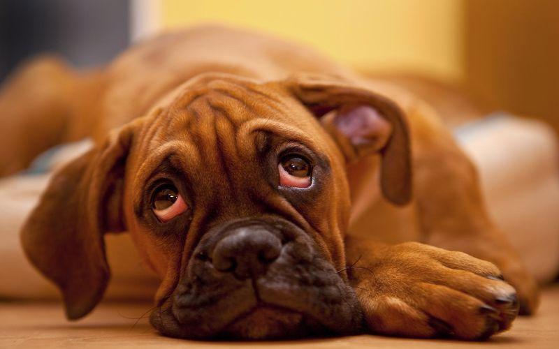 بیماری چشم گیلاسی در سگ