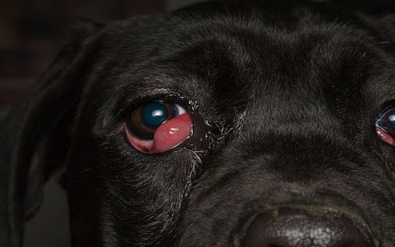 سگ مبتلا به بیرون زدگی غده پلک سوم
