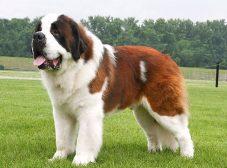 سگ سنت برنارد: سگی که دلش هم به اندازه هیکلش بزرگه!
